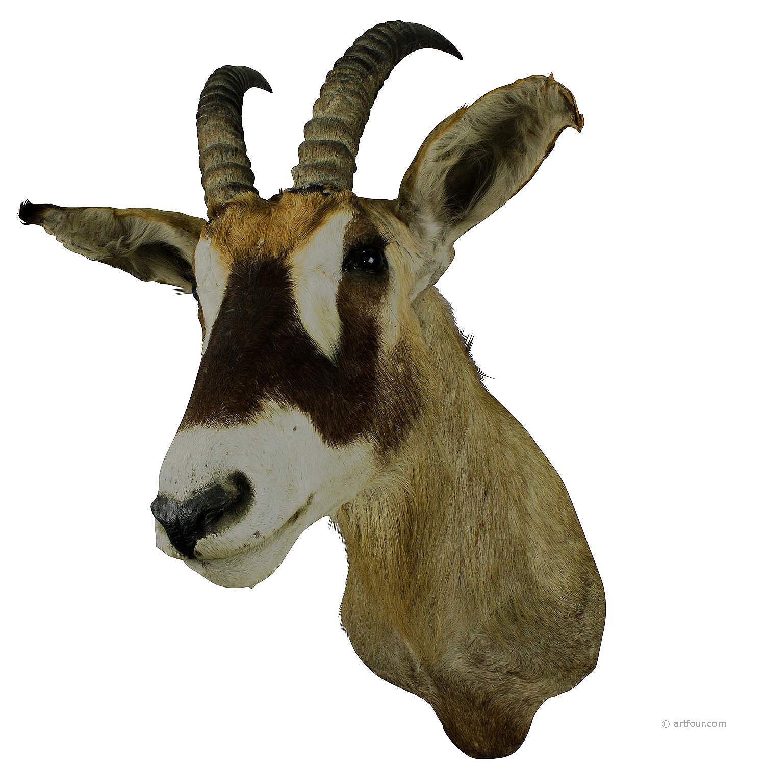 a stuffed african sable antelope taxidermy