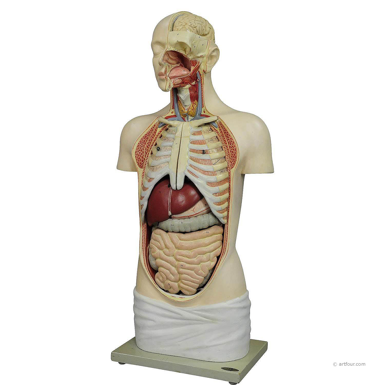 Large Anatomical Torso By Meusel Circa 1920