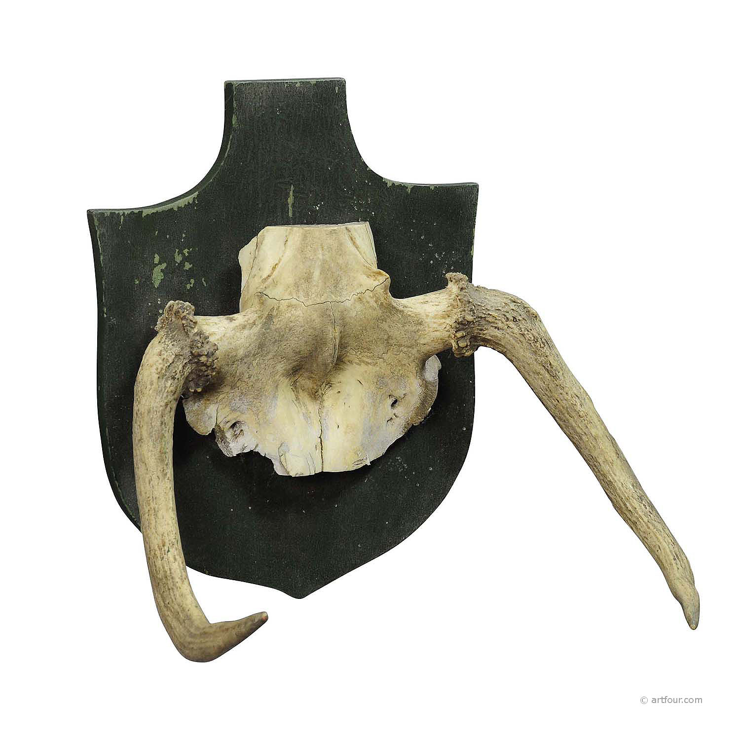 rare trophy of an abnorme moose from a noble estate ca. 1930ties