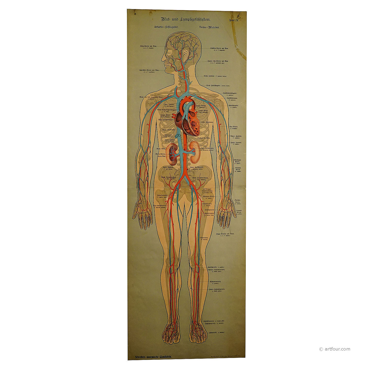 an anatomical wall chart depicting the human lymphatic and blood vessels