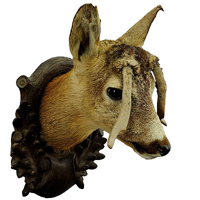 image of an antique deer head taxidermy with abnormous antlers