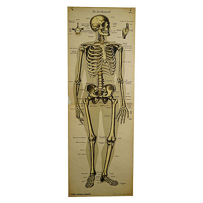 image of an antique anatomical wall chart depicting the human skeleton