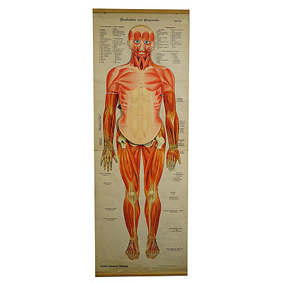 image of an antique foldable anatomical wall chart depicting human musculature