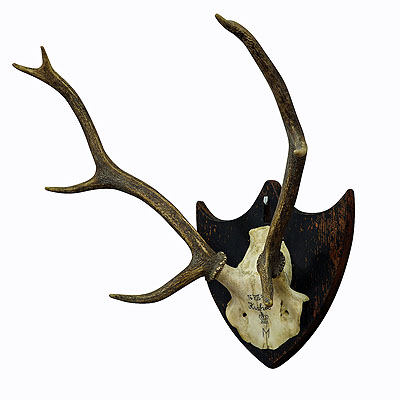 image of antique black forest deer trophy from salem - germany, kuchel 1873